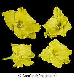 Yellow gladiolus flowers on a black background