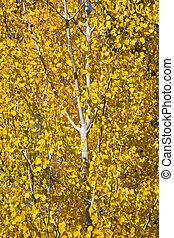 Yellow Gold Quaking Aspen Tree Leaves Close Up Leavenworth Washi