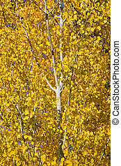 Yellow Gold Quaking Aspen Tree Leaves Close Up Leavenworth Washi