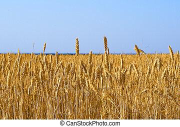 Yellow grain growing in a farm field before harvest