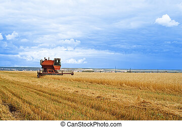 Yellow grain ready for harvest - Combine working on a wheat...
