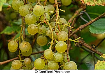 grapes on a branch with green leaves in the garden