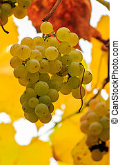 yellow grapes on vine leaves background - yellow bunches of...