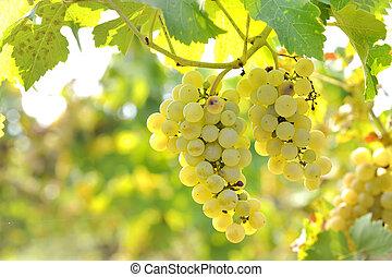 Yellow grapes