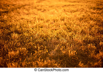 Yellow grass in a field in the rays of sunlight. Autumn background