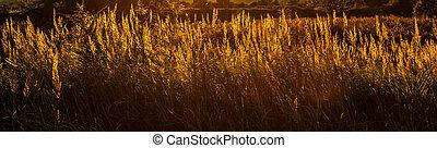 Yellow grass on sunset