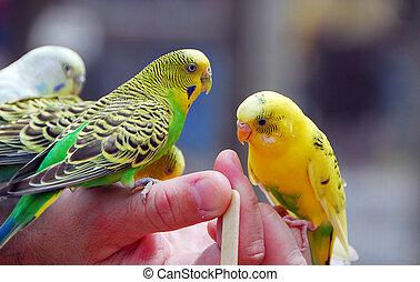 yellow green budgie parrot pet bird also known as Budgerigar...