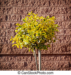 Emerald gold (Euonymus fortunei) planted in front of brick wall