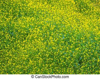 Yellow green flowers field of mustard plants in Dhulikhel, Nepal