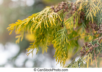Yellow-green leaves of thuja in winter