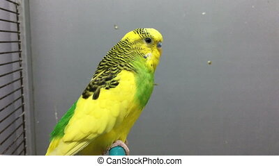 yellow green Parrot sits on a Crossbeam