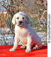 yellow happy labrador puppy in garden portrait