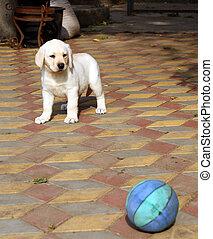 yellow happy labrador puppy in garden with a ball
