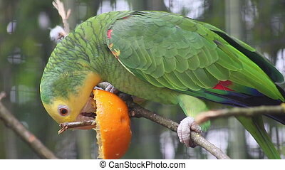 Yellow-Headed Amazon (Amazona Oratr - Yellow-Headed Amazon...