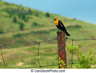 Yellow Headed Blackbird in the National Bison Range in Montana USA