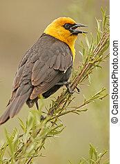 yellow-headed, mannelijke , (xanthocephalus, merel, ...