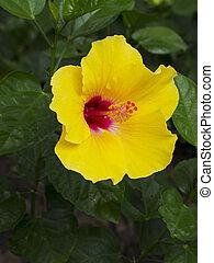 Yellow Hibiscus Flower blooming morning