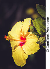 Hibiscus flower photographed in botanical garden in La Gomera, Canary Islands, Spain
