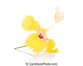 Yellow hibiscus flower isolated on white background
