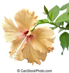 Cream yellow hibiscus flower isolated on white