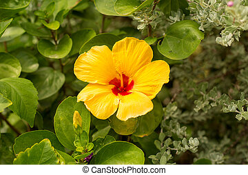 Yellow hibiscus flower on green leaves background.