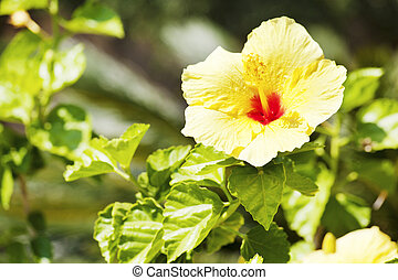 Yellow hibiscus flower over natural green background