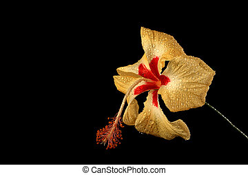 Yellow Hibiscus Flower with Waterdrops on Black Background