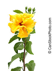 Yellow hibiscus flowers