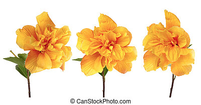Beautiful yellow hibiscus flowers isolated on white background.