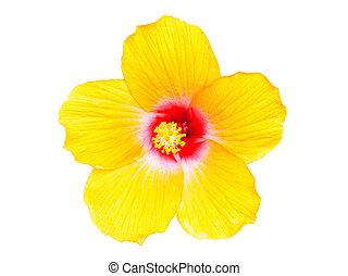 Yellow hibiscus flowers isolated on white background