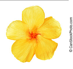 yellow hibiscus isolated on white background