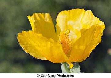 Yellow hornpoppy flower