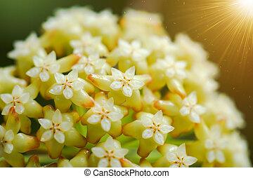Yellow Hoya flowers. (Hoya parasitica (Roxb.) Wall. ex Wight...