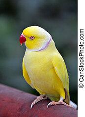 Yellow Indian Ringneck Parrot rose-ringed parakeet (Psittacula krameri)