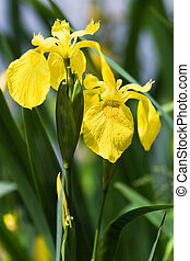 Yellow Iris at the waterside in summer - Yellow Iris, Yellow...