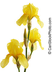 Yellow iris flower isolated on white background