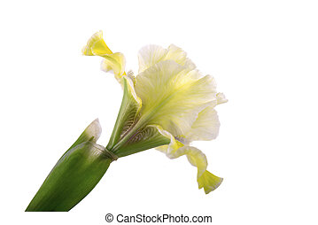 Yellow iris flower, isolated on white background.