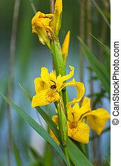 Yellow Iris in the wetlands