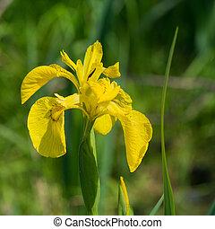 yellow iris in water