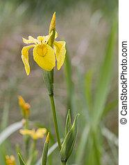 Yellow Iris (Iris pseudacorus ) beautiful wild flower