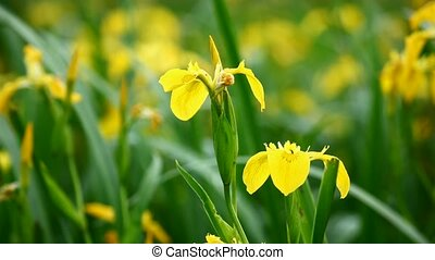 Yellow iris (Iris pseudacorus) on lakeside