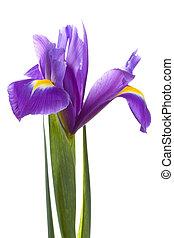 yellow iris on isolated