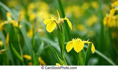 Yellow iris (Iris pseudacorus) on lakeside