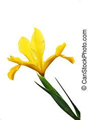 yellow Iris flower isolated against white