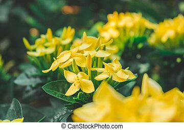 Yellow ixora flower in garden