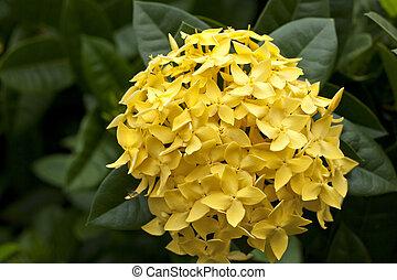 Yellow Ixora Flowers at Full Bloom
