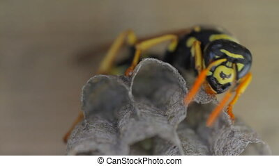 Yellow Jacket Wasp on nest eggs