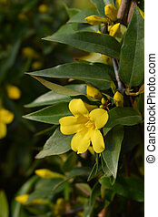 Yellow jessamine - Latin name - Gelsemium sempervirens