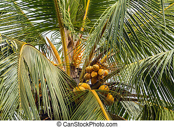 yellow king coconut leaves - Coconut Palm leaves tree fruits...