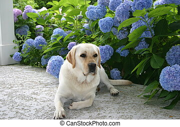 yellow lab and hydrangeas - yellow lab on patio surrounded...
